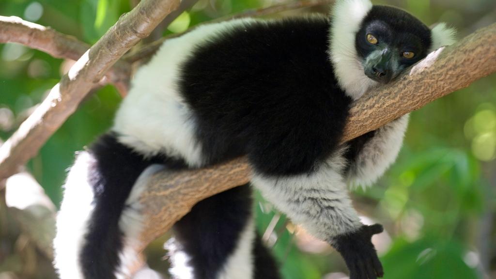 Un lemure si riposa su un ramo