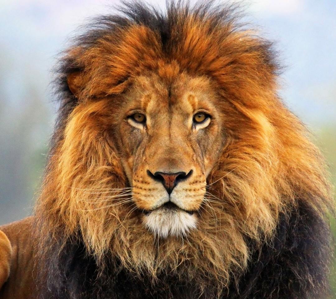 leone in primo piano